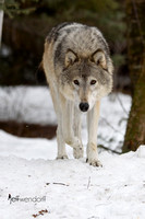 Cream colored Gray Wolf in winter