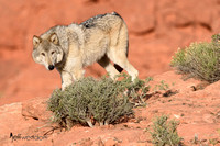 Gray Wolf on the canyon edge in the red rocks