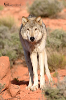 Cream colored Gray Wolf staring at the photographer