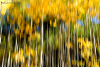 Abstract - Aspens in Fall