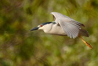 Black-crowned Night-Heron,Nycticorax nycticorax