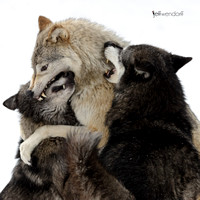 Wolves - Canis