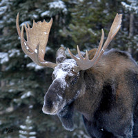 Bull Moose Jasper National Park