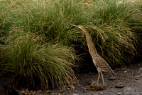 Juvenile Bare-throated Tiger Heron - Costa Rica