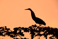 Bare-throated Tiger Heron Silhouette - Costa Rica
