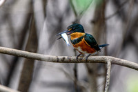 American Pygmy Kingfisher with Prey - Costa Rica