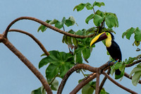 Chestnut-mandibled or Swainson's Toucan in a Cecropia Tree