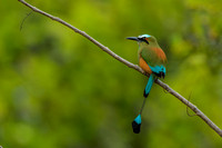 Blue-crowned Motmot - Costa Rica
