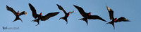 Great Frigatebird Panorama
