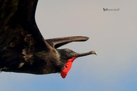 Great Frigatebird, Fregata minor