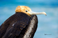 Magnificent Frigatebird, Fregata magnificens. Also called Man O'War