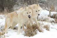 Arctic Wolf, Canis lupus arctos. Also Polar Wolf or White Wolf