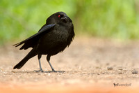 Bronzed Cowbird (male) breeding plumage