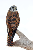American Kestrel, Falco sparverius photographed by Jeff Wendorff
