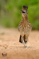 Greater Roadrunner, Geococcyx californianus. Also Chaparral Cock