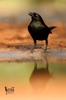 Bronzed Cowbird pond reflection