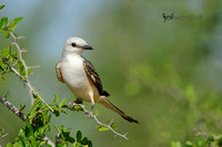 Scissor-tailed Flycatcher, Tyrannus forficatus. Also Texas Bird of Paradise and Swallowtailed Flycatcher