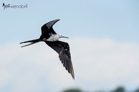 Magnificent Frigatebird, in flight - Costa Rica