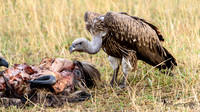 Vultures - Cathartidae
