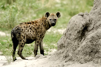 Spotted Hyena, Crocuta crocuta. Also Laughing Hyena