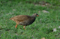 Scaly Francolin in Kenya