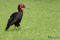 Ground Hornbill in Kenya