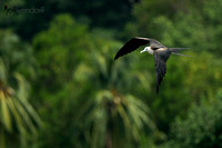 Magnificent Frigatebird, over the palms in costa Rica