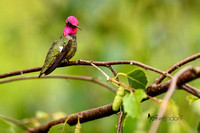 Full Display - Anna's Hummingbird