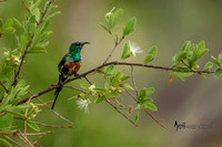 Beautiful Sunbird in Tanzania