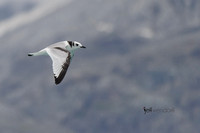 Black-legged Kittiwake - Glacier Bay