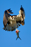 Osprey, Pandion haliaetus. Also known as Seahawk, Fish Hawk, and Fish Eagle.