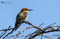 European Bee-eater in Kenya