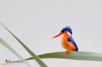 Hunting - Malachite Kingfisher