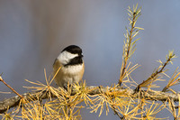 Black-capped Chickadee, Poecile atricapilla