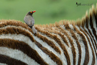 Red-billed Oxpecker riding a zebra foal
