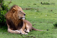 Master of the Mara - Male Lion