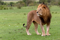 African Lion Hunting in the Mara