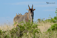 Common Eland with Oxpeckers
