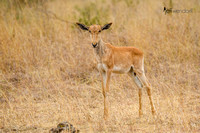 Coke's Hartebeest Calf in Kenya