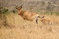 Coke's Hartebeest with Calf in Kenya