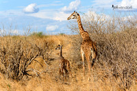 Masai Giraffe Mother and Calf