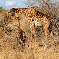 Masai Giraffe tender moment mother and Calf