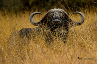 African Buffalo in the Long Grass