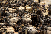 Common Wildebeest Stampeding across the Mara
