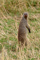 Banded Mongoose Watching for Danger