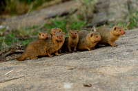 "A ""Curiosity"" of Dwarf Mongoose"