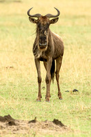 Common Wildebeest Guarding Territory