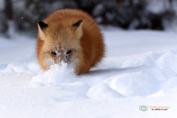 Red Fox hunting in deep snow.