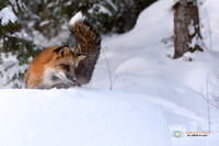 Red Fox on the hunt in winter.