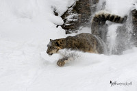 Snow Leopard running in powdery snow.